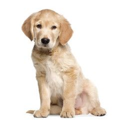 KEK Amsterdam Golden Retriever Puppy XL muursticker